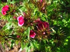 Bartnelken rosa