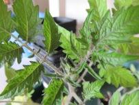 Tomate blüht Anfang Mai