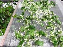 Weißdornblüten und -blätter