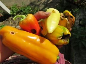 Angefressene aber reife, fette Paprika