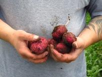 Wild aufgekommene Frühkartoffeln