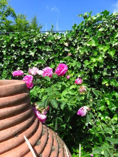 historische-rose