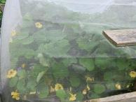 Eingesperrte Kapuzinerkresse, chic in gelb