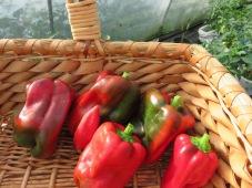 Fette, rote Paprika