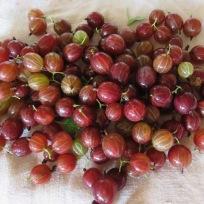 Rote Stachelbeeren
