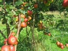 Reich tragender Apfelbaum