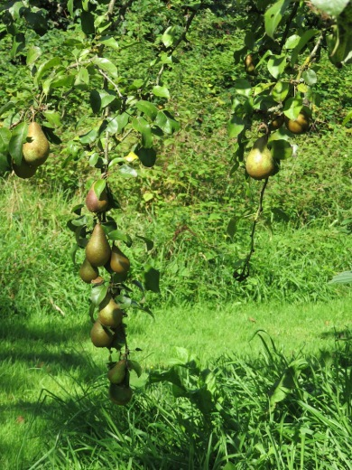 Wunderschöne Birnen