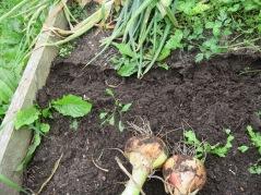 Schöner, lockerer Boden nach Zwiebelanbau