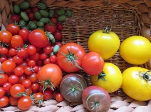 Endlich Tomaten satt dank Folientunnel