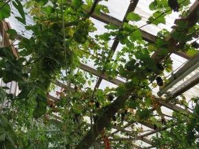 Unter dem Giebel wachsen massenhaft Trauben und beschatten die Tomaten