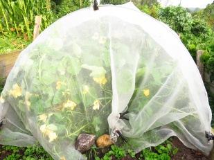 Kapuzinerkresse unter Insektenschutznetz im Kohlbeet