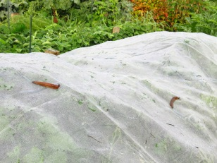 Nacktschnecken unter Insektenschutznetz