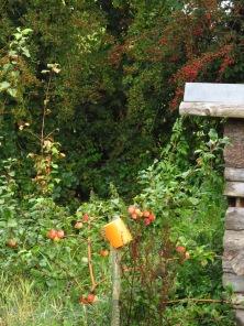 Apfelbaum, Weißdorn