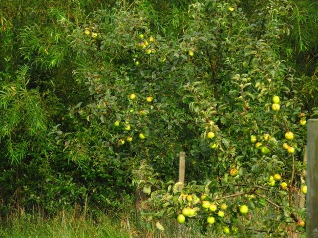 Äpfel, Weidenrondell