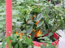 Paprika gelb