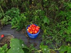 Tomatenernte Oktober