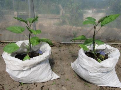 Am 28 Mai wurde gepflanzt