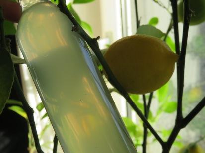 Zitronenschnaps aus eigenen Meyer-Zitronen