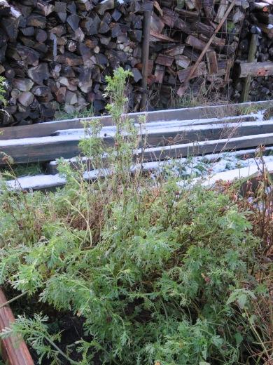 Essbare Chrysantheme trotzt dem Frost