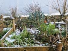 Wintergemüse im Schnee