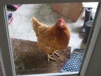 Empörtes Huhn