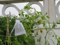Verhütete Tomatenblüte