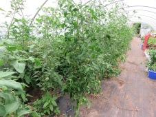 Tomatendschungel