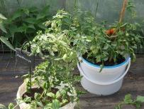Die ersten reifen Tomaten