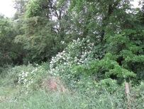 2 weiße Rambler im Knick