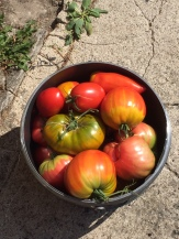 Eimerweise Tomaten ...