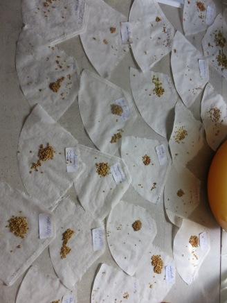 ... und die Samen trocknen. Vom Papier lösen, eintüten, beschriften, archivieren.