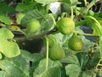 Feigensteckling vom letzten Jahr mit Früchten