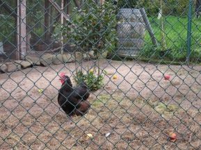 Huhn mit Äpfeln