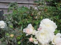 Rose mit Hagebutten und Blüten