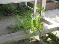 Schattentomate unterm Gartentisch