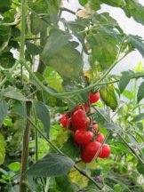 Tomatenüberfluß