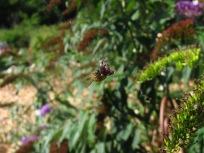 Wespe mit Beute im Spinnennetz