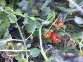 Tomaten mit Frostschaden
