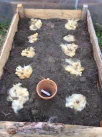 Kartoffeln in Schafwolle legen
