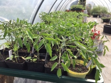 Tomaten-Jungpflanzen
