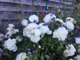 Rosen und Lavendel