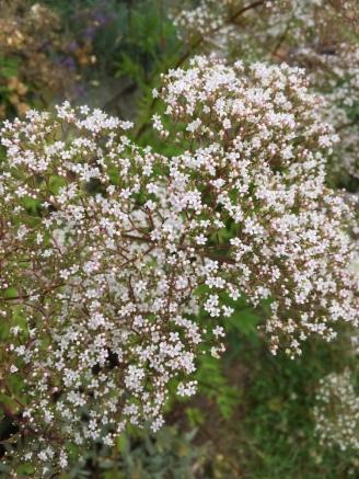Baldrian-Blüte