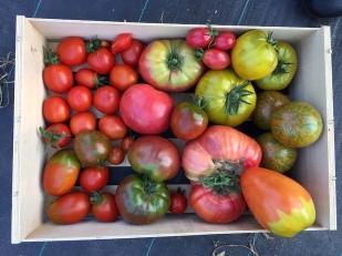 Endlich ein paar Tomaten