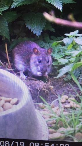 Ja richtig, die Ratten fressen den Hunden das Futter weg. Vor deren Nasen.