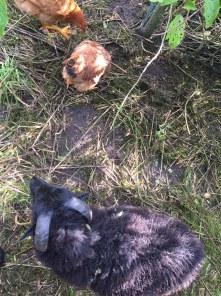 Größenvergleich Schaf-Huhn