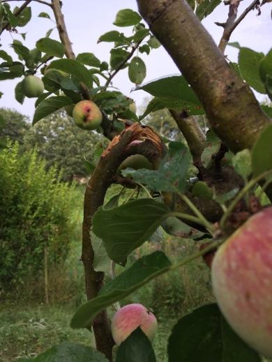 ZU viele Äpfel