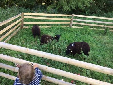 Neue Schafe braucht das Land