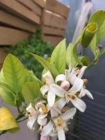 Blüte von der Meyer-Zitrone
