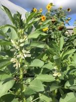 Herbstanbau der Puffbohnen