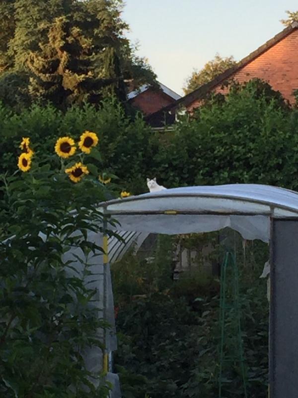 Katze auf dem heißen Folientunnel